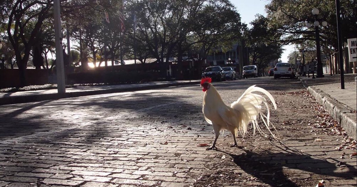 Tampa, Florida, lets feral chickens roam its streets. Really. https://t.co/yWyKw3FxDg
