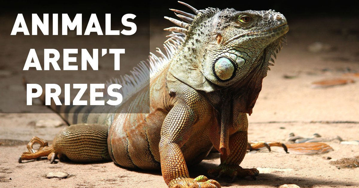 Hermit crabs, iguanas, and other animals doled out as prizes often become victims of neglect or abuse.  Your voice is needed now! 📢 https://t.co/t3P6umJhzH
