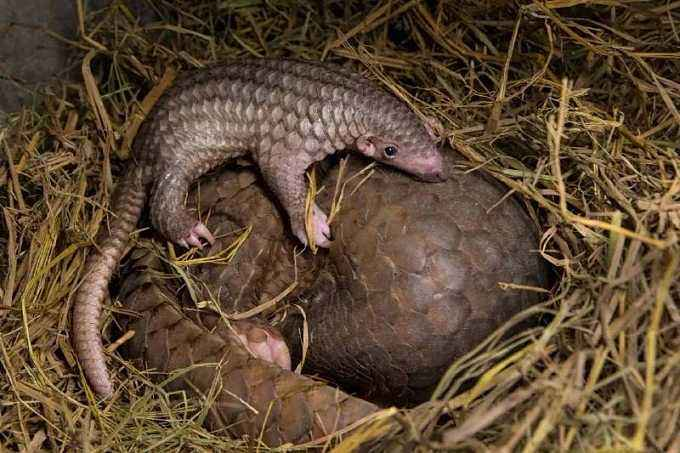 The customs of China's Hong Kong Special Administrative Region (#HKSAR) seized Friday about 7,100 kg of suspected #pangolin scales, with an estimated market value of about $450,000, in a container from #Nigeria (file pic)