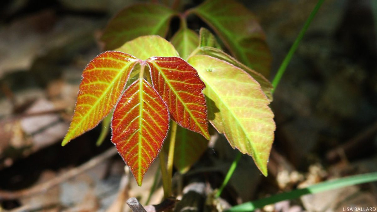 6 myths about poison ivy, busted. https://t.co/SIwLrKmKFT