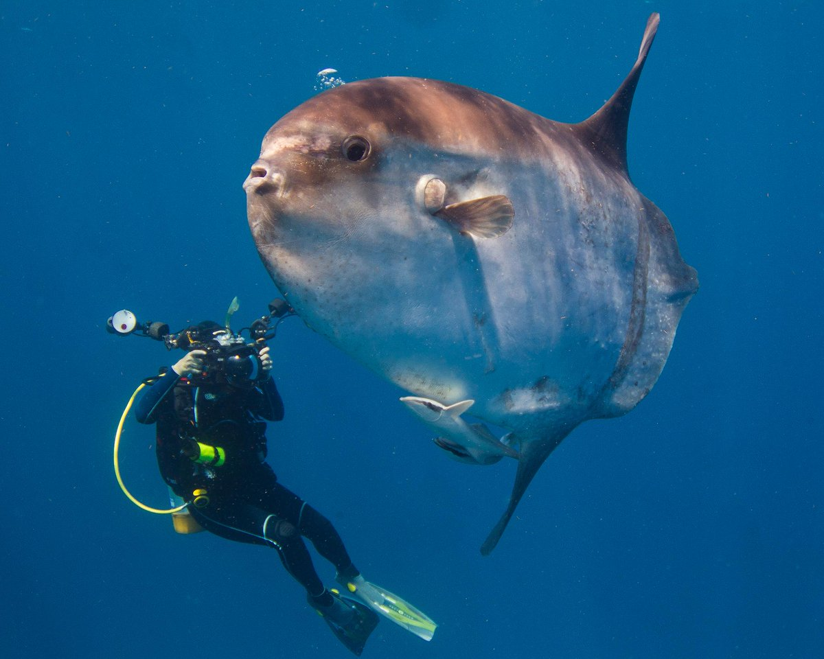"""A Sunfish or Mola Mola swims alongside an underwater photographer here in Palm Beach County, Florida. They are the heaviest bony fish in the world, grow to be over 2,000 lbs. at a height of over 10 feet & feed on a diet of mostly jellyfish.'  📸+ text by Jim Abernethy"