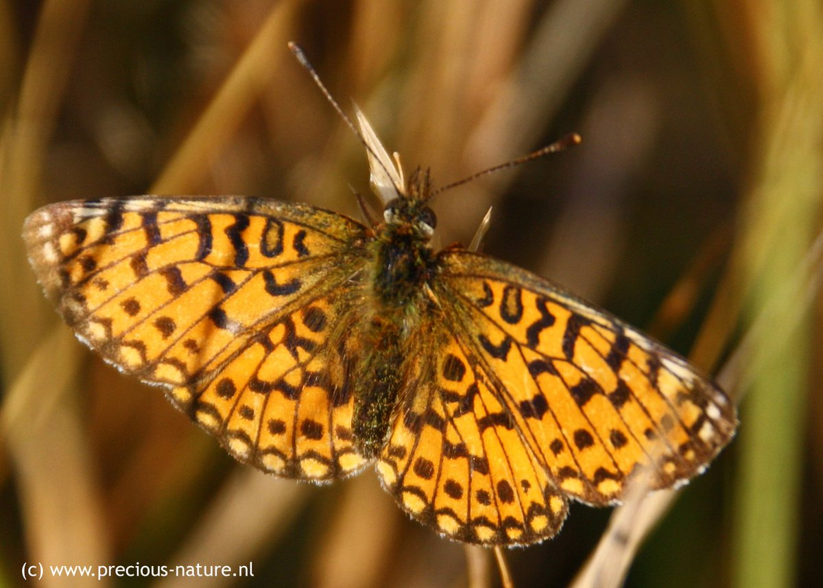 Yes, great new spot for my list today, the #SmallPearlBorderedFritillary #zilverenmaan Long wanted, finally spotted. #NaturePhotography #canon1000D @waarneming @vlinderNL https://t.co/u7E9TX1sKR