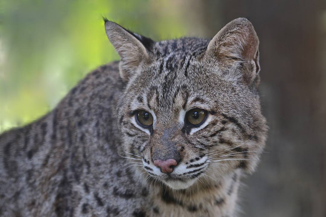 Wild Florida On Twitter Nala Isn T Our Only Native Big Cat Inside Our Gator And Wildlife Park Meet Our Bobcat Duke Who Has Been A Part Of The Wild Florida Family Since