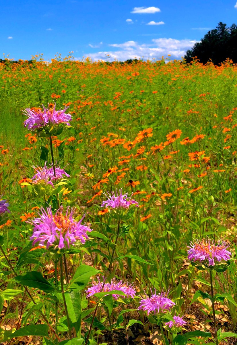 Tom burke on twitter saw this beautiful field of flowers in tom burke on twitter saw this beautiful field of flowers in concord massachusetts during a bike ride through the reformatory branch and battle road izmirmasajfo