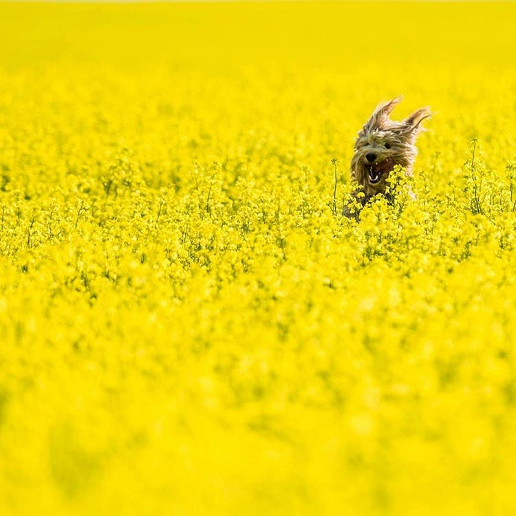 That feeling when you see the golden canola fields are in full bloom.   Photo by @McritchiePhoto    #explorealberta