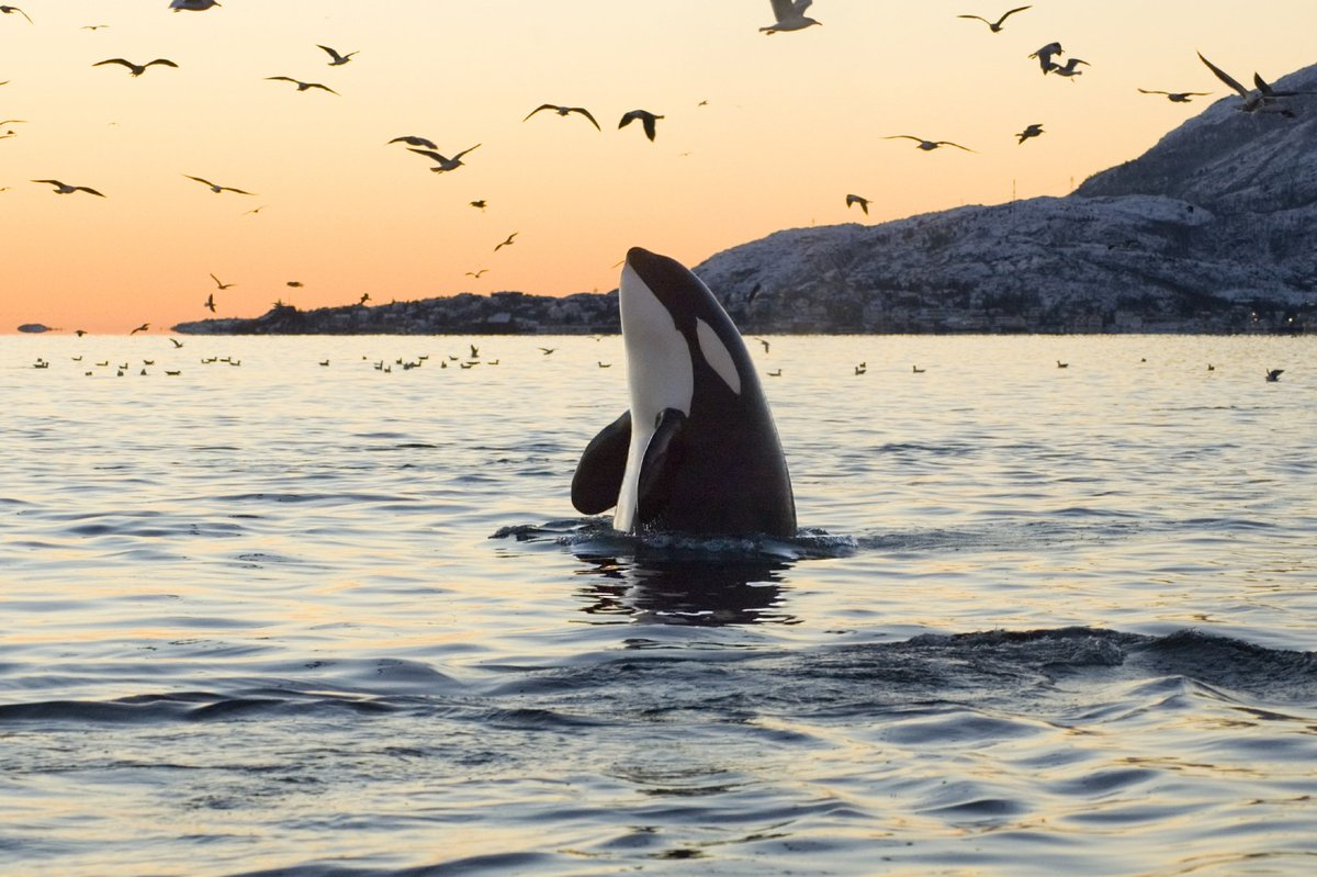 Night  Orca spy hops at sunset with birds flying around  San Juan Island,Washington #INDIGENOUS #TAIRP<br>http://pic.twitter.com/Bg4MKR4EEm