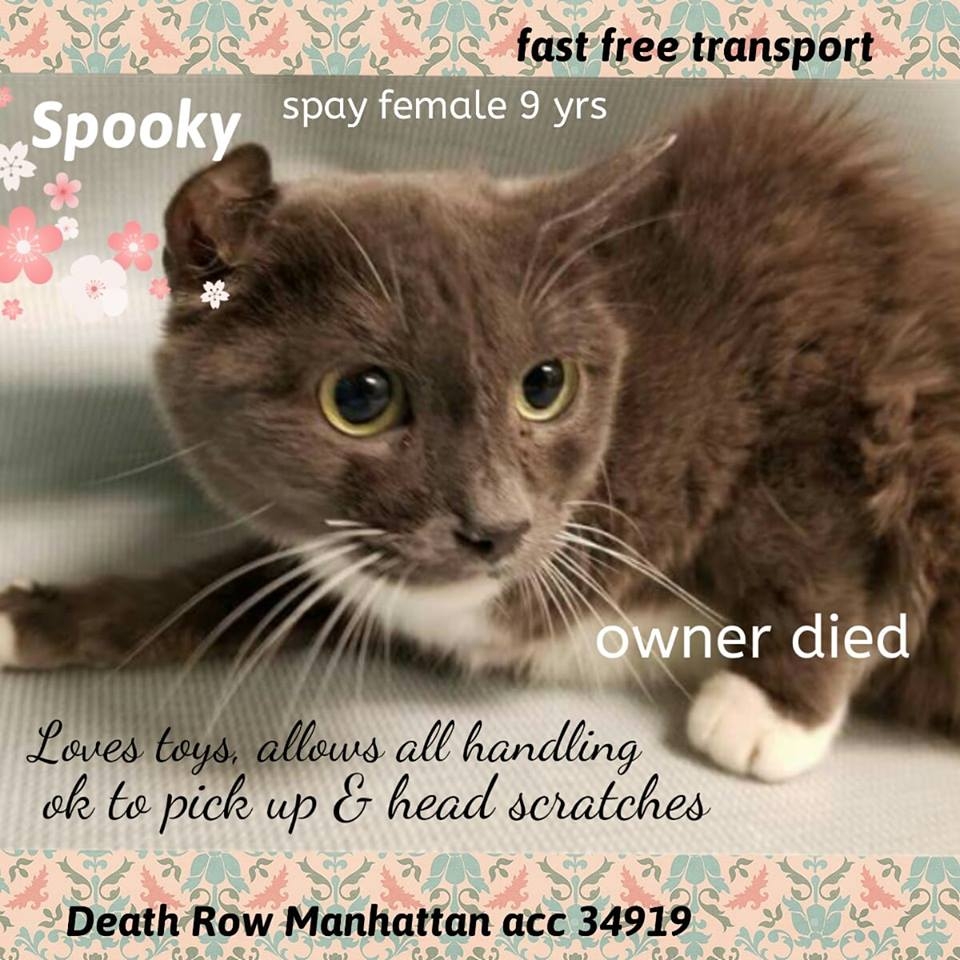 Sweet, spayed SPOOKY LOVES TOYS, allows all handling, is find with being picked up &amp; head scratches.  She lost all and needs u now.  Noon on Mon may be too late for this terrific tuxie!  #NYC #cats  http:// facebook.com/mlcsavingnycca ts/ &nbsp; …  …<br>http://pic.twitter.com/b5a715nGDd