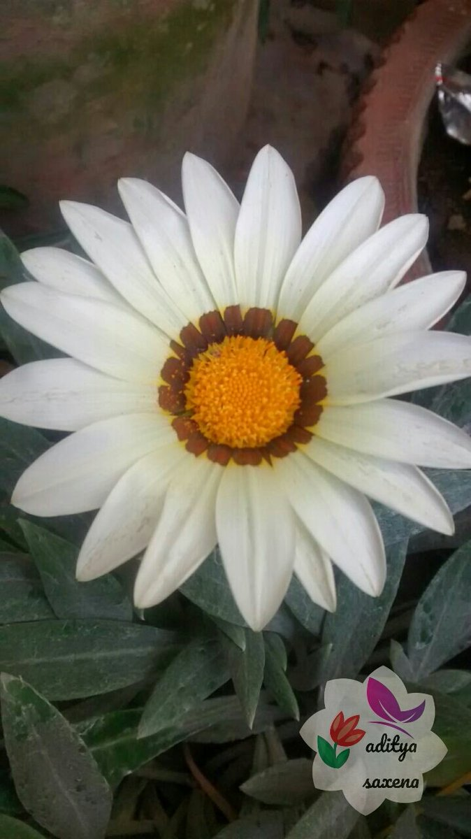 Garden Center Live Pa Twitter Today Plant Gazania