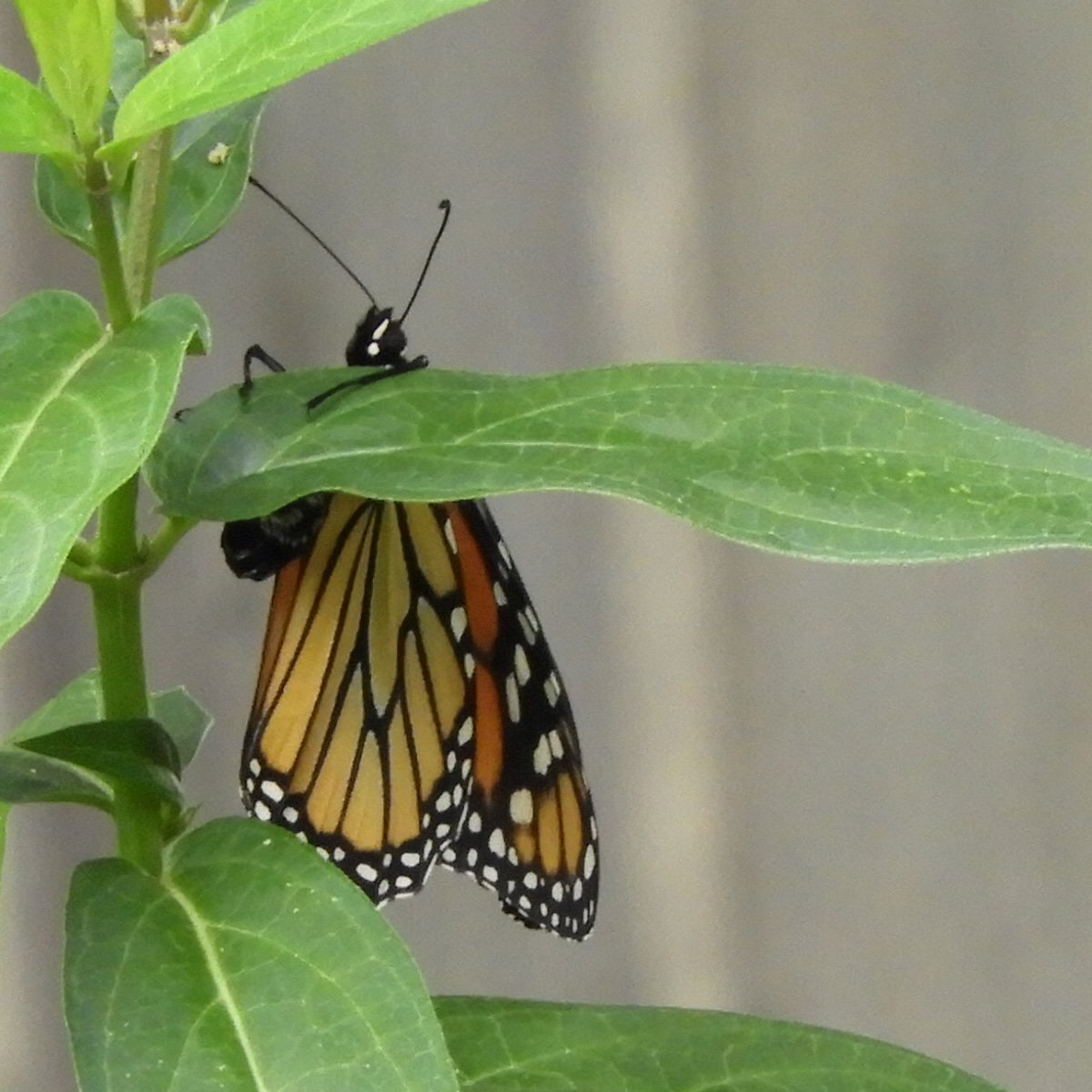 A female monarch butterfly hanging on as she deposits her eggs on the swamp milkweed I have growing in my garden 💓 I used a zoom lens and gave her plenty of space as I snapped a few pictures. I am in love with this shot!! #ilovemygarden #monarchbutterfly #monarchfood https://t.co/6TeorIqpMv