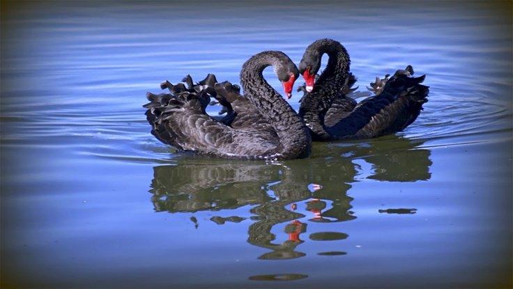 Золото. Gella&Vladimi®. Танцы черных лебедей