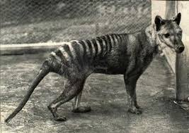 Australia has the worst mammal extinction rate in the world - 29 land mammals have become extinct over the last 200 years ^SS #4oclockfact