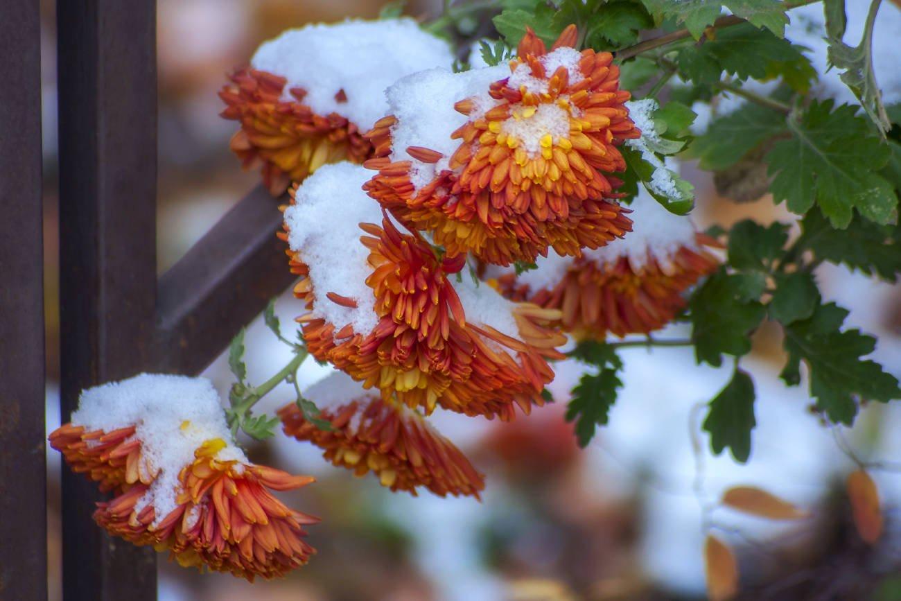 Ноябрьские цветы фото
