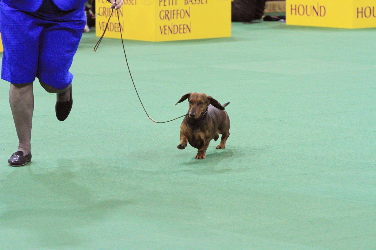 Westminster Dog Show على تويتر: \