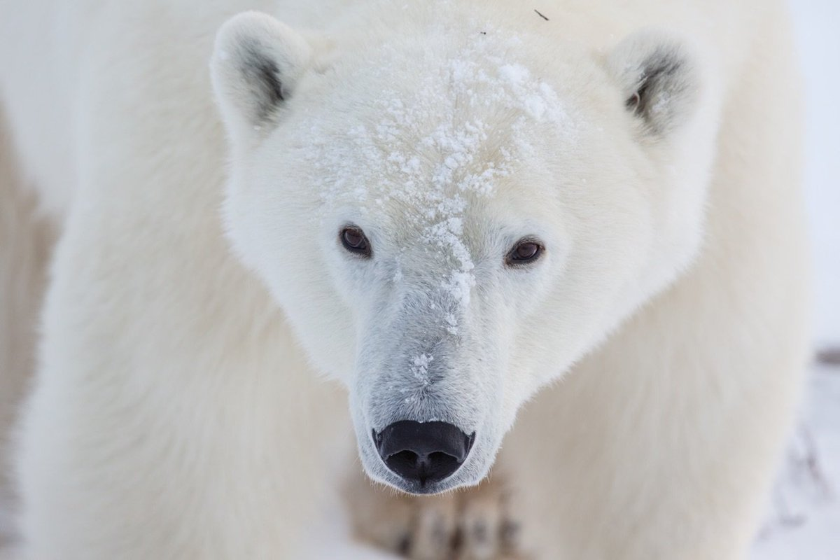 expository essay on polar bears Transcript of the abcs of expository writing: attack the prompt, brainstorm,  essay 9 expository text  the polar ice caps, which is causing polar bears to.