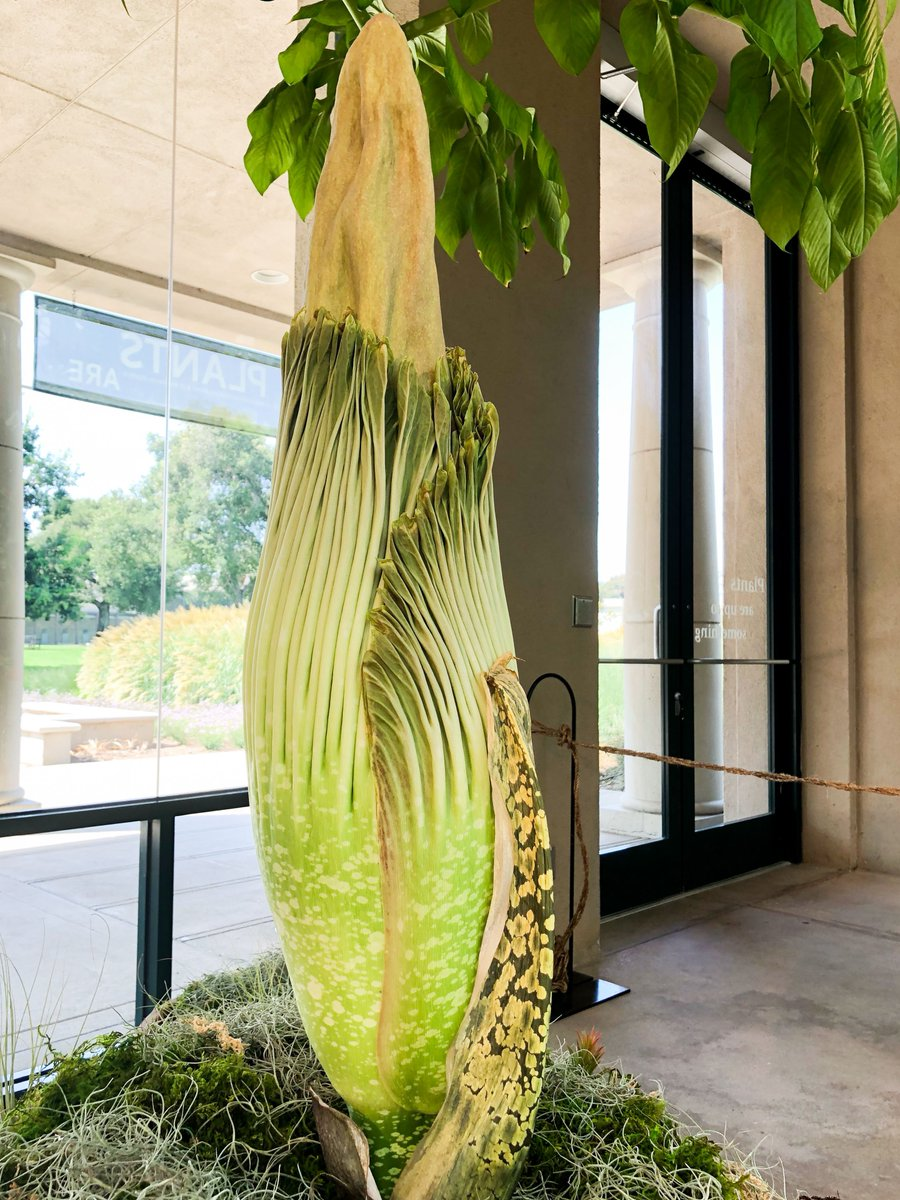 The Huntington On Twitter Corpseflower Update Li L Stinker Grew Another 2 5 Inches Today And Is Currently The Size Of An Average 3 Year Old Stinkyplant Stinkyattheh Https T Co Pnt5qfcpxf