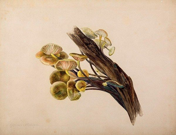 'Peter Rabbit' creator Beatrix Potter, born on this day in 1866, was a skilled self-taught mycologist whose stunning drawings of mushrooms scientists use to this day to identify species:  https://t.co/hp34Iepp5y