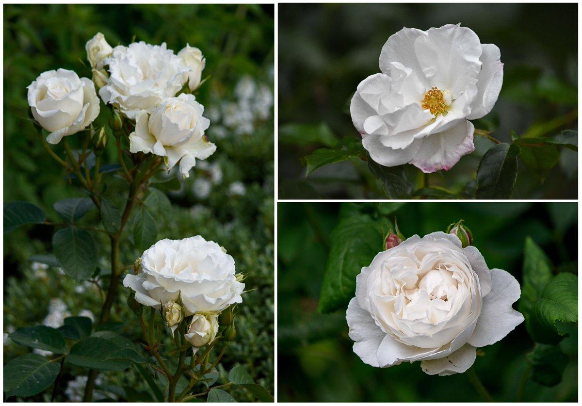 Venetiajanes Garden On Twitter In The Language Of Flowers The