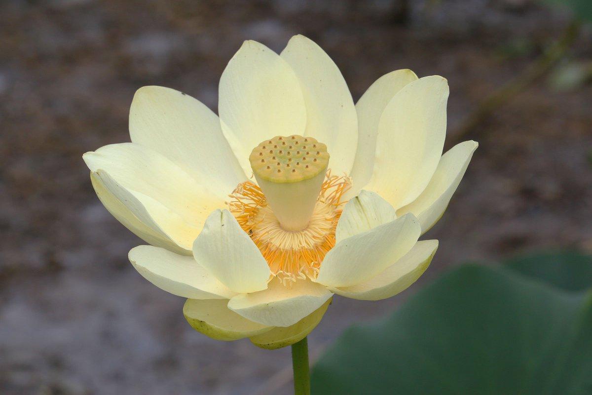 Andrew Krueger On Twitter Yellow Lotus American Lotus In Bloom