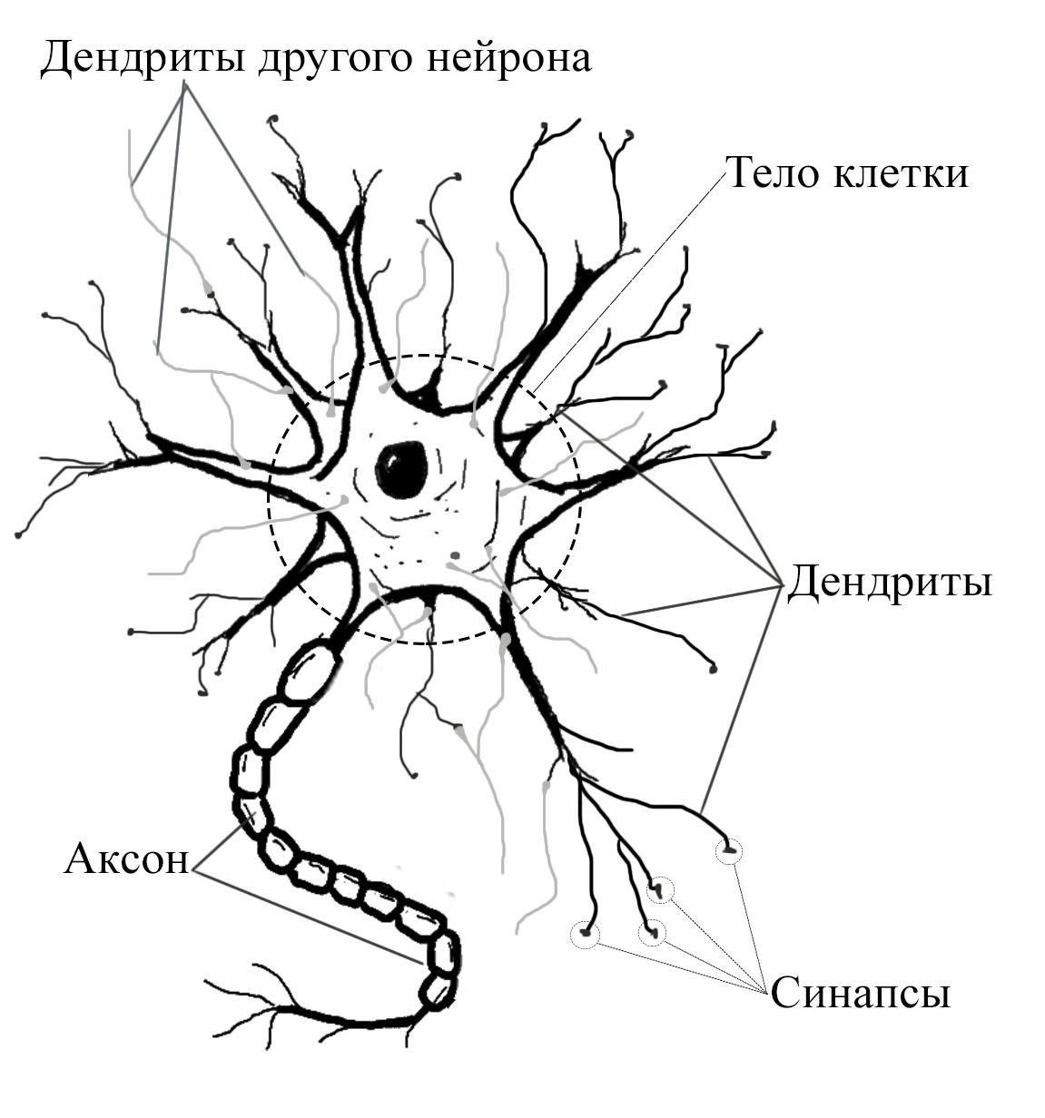 картинка нейрона с обозначениями из-за некоторых