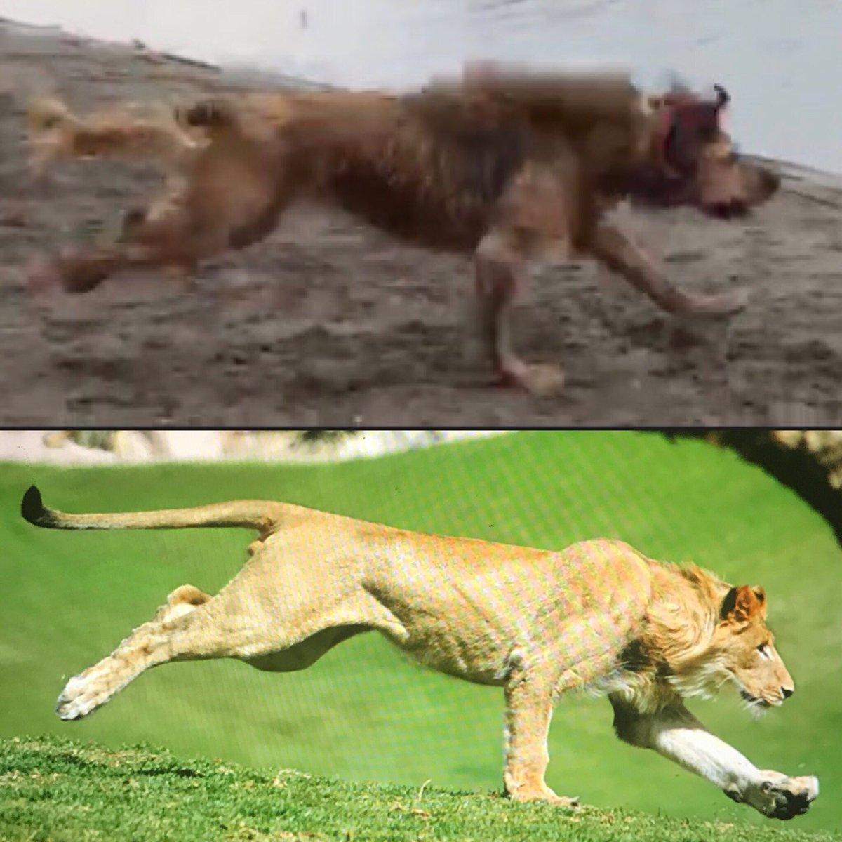 Kahlua thinks she is a lion. https://t.co/Pa95mzqIAs