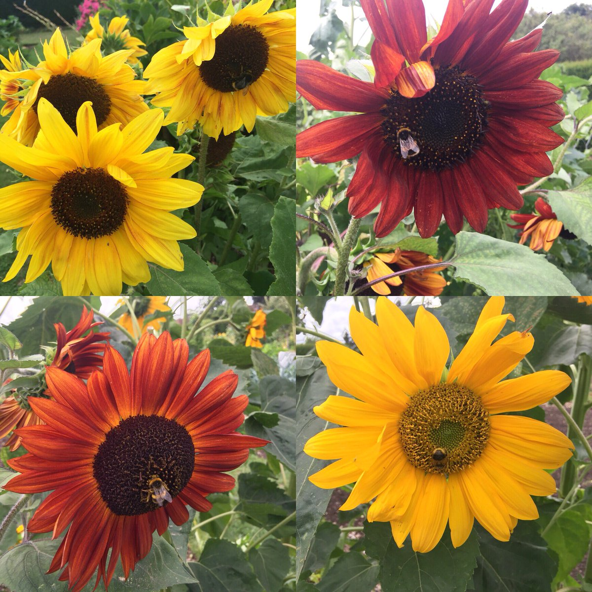 Tomorrow is the last day of our Open Season! Don't miss the opportunity of visiting our gorgeous gardens #walledgarden #sunflower #bees #yellowflowers #placetovisit #surreygarden #visitsurrey