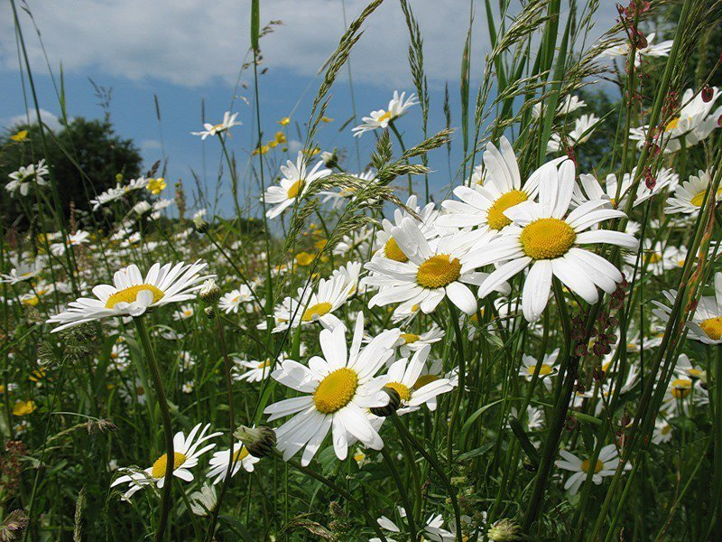 стихи здравствуй лето в ромашковом поле месяц июль всему