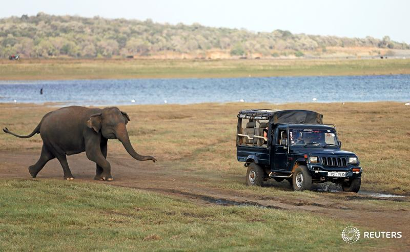 A wild elephant chases a tourist safari jeep at Kaudulla National Park in Sri Lanka
