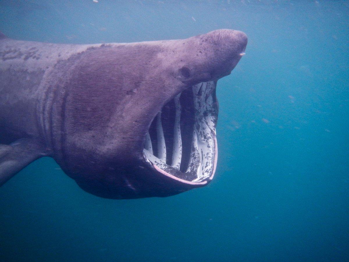 Картинки гигантской акулы, картинка