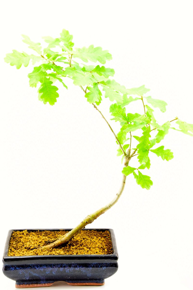 Outdoorbonsai Hashtag On Twitter