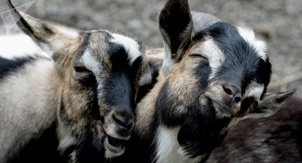 Une chèvre enceinte meurt à la suite d'un viol collectif par 8 hommes https://t.co/9P9yBUqM0P
