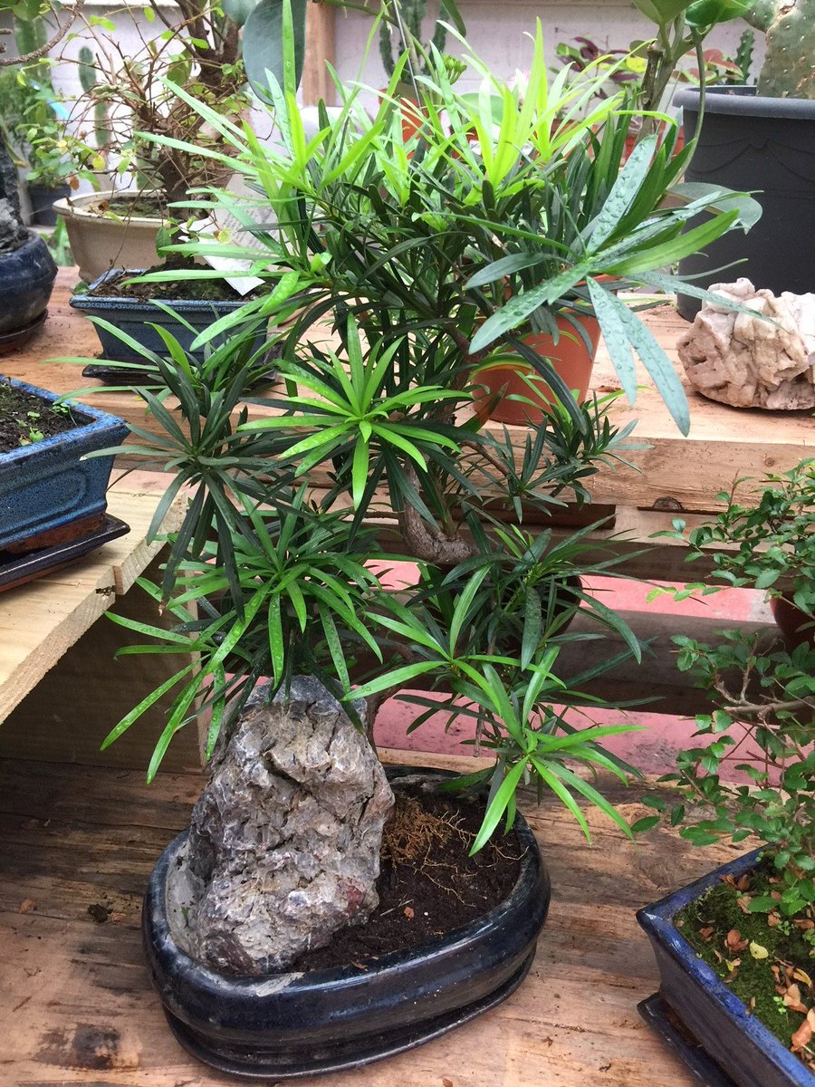 Urban Plant Life On Twitter Podocarpus Macrophyllus Buddhist Pine A Beautiful And Easy To Care For Bonsai Ideal For Beginners