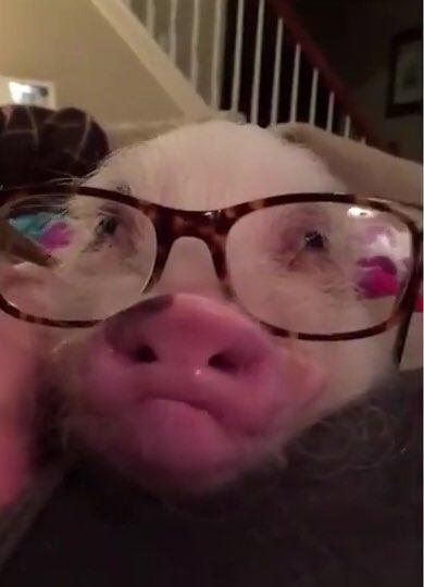 Свиньи смешные гифки