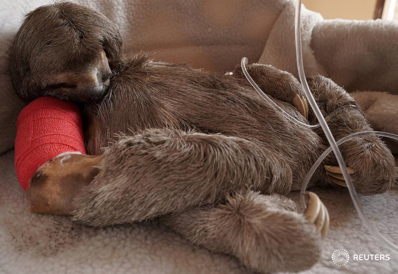 A sloth called Pancho, hit by a vehicle, is seen after surgery in Bolivia