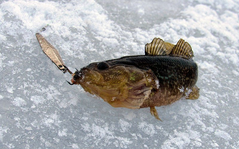 Зимняя рыбалка на ротана наживка