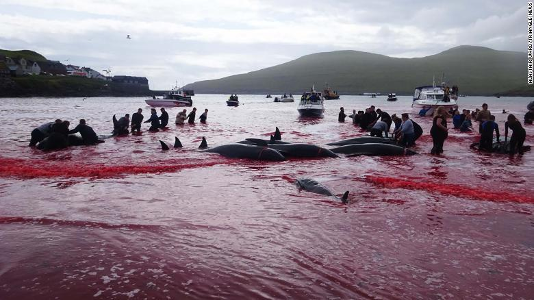 una caza masiva de ballenas en las Islas Feroe, que pertenecen a Dinamarca, tiñó el mar de sangre y desató duras críticas de activistas por los derechos de los animales https://t.co/CiJENrOPkK