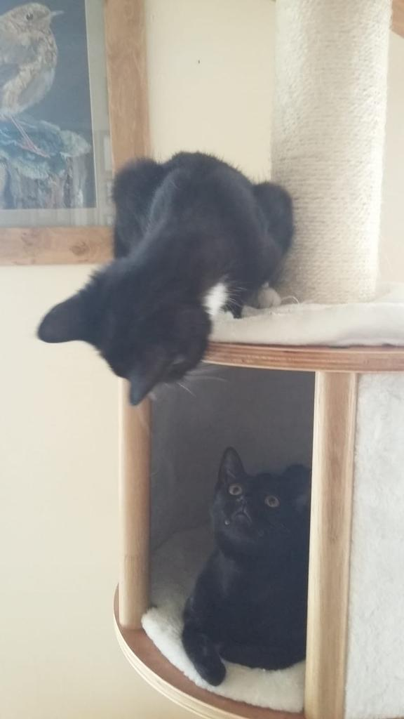 Delia is an absolute delight, she also has a very playful and funny personality, shes entertaining and sweet! She&#39;s only a kitten and she needs the best home! #BlackCatAppreciationDay #rescuecat #FriYay <br>http://pic.twitter.com/foK5aNLNmN