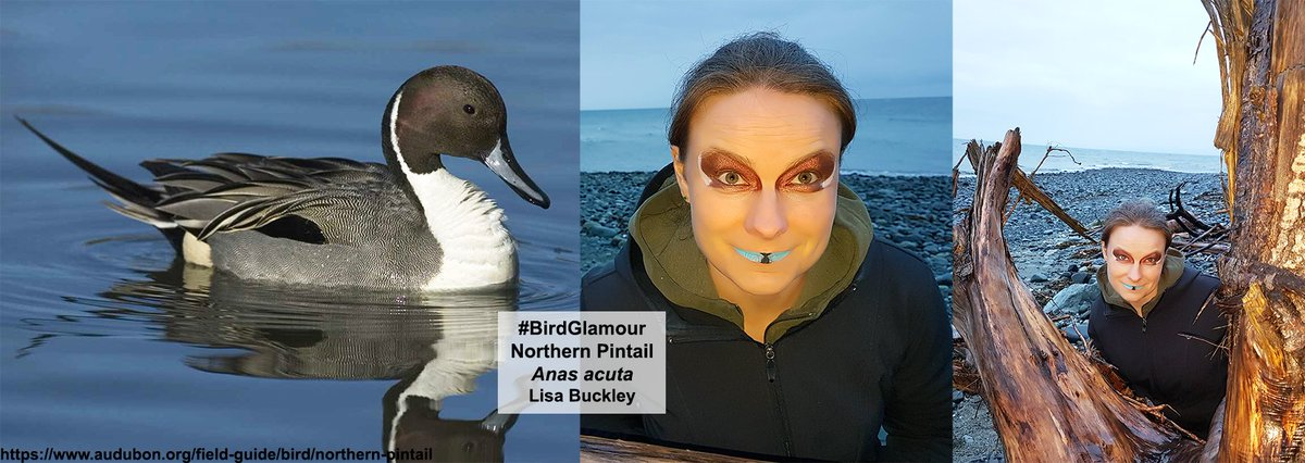 Northern Pintail #BirdGlamour is perfect for Early Birds &amp; Night Owls! Blue &amp; black bills w white &amp; dark chocolate colors are perfect for April tundra nesting or nighttime migration! Populations are still strong but Northern Pintails are sensitive to wetland habitat loss. #sciart <br>http://pic.twitter.com/qkNSFEvbOm
