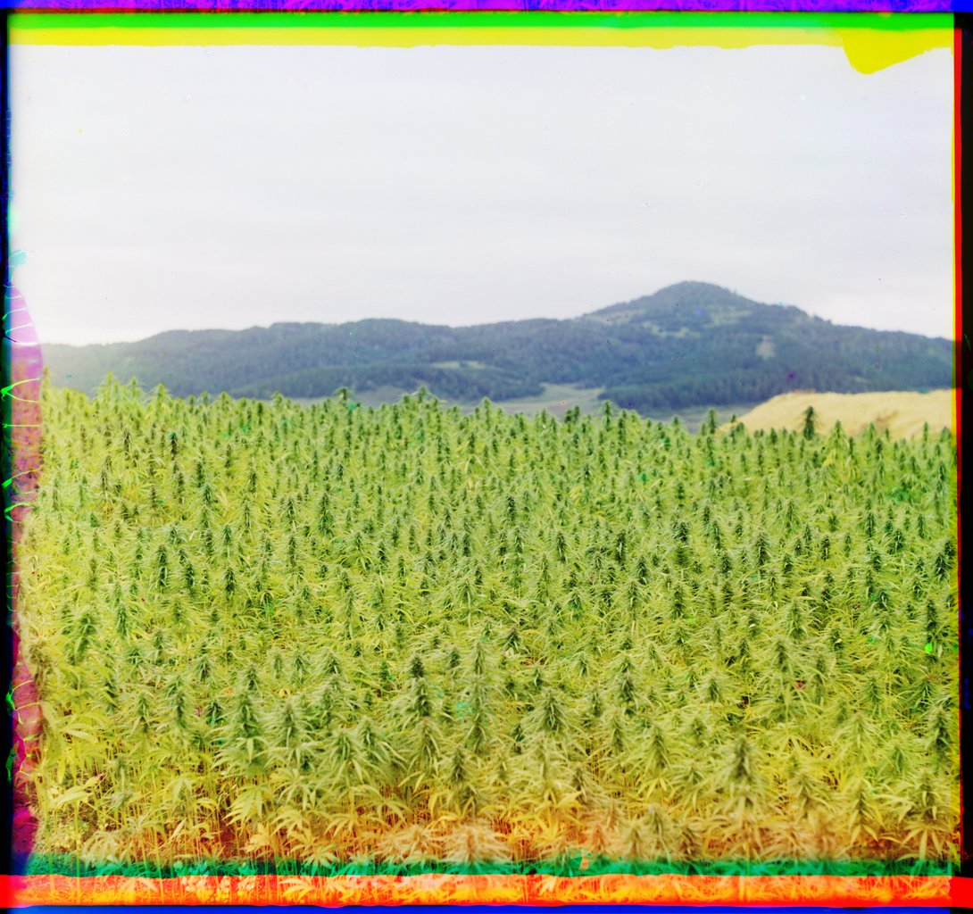 The first color photograph of cannabis. 1910 in Russia, by photographer Sergei Mikhailovich Prokudin-Gorskii using his three-colour photography process <br>http://pic.twitter.com/KTTZ7IH2G5