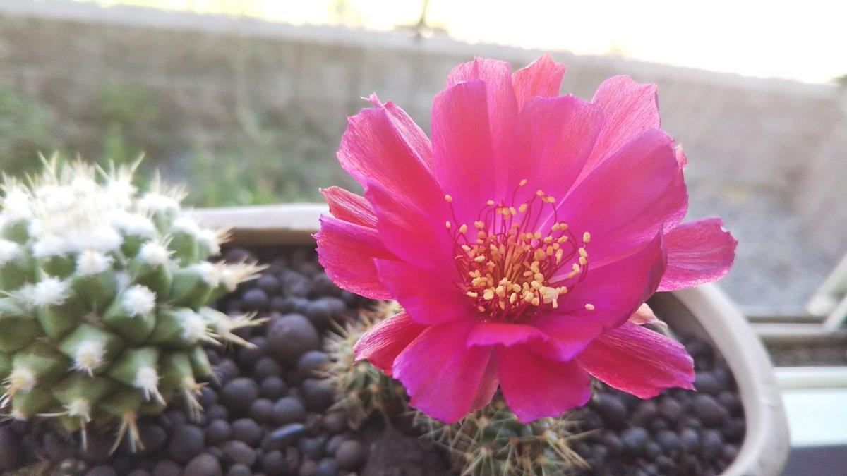 test ツイッターメディア - #ダイソー で買ったサボテンがまた花を咲かせてくれた https://t.co/QaP1fTXtGE