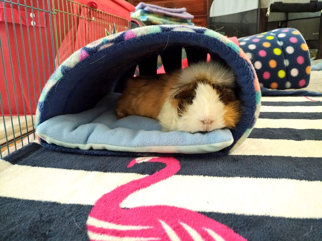 Shelby says &quot;Relax, it&#39;s Saturday.&quot;  #guineapig #SaturdayMorning #NationalLazyDay #cute #fluffy #pets<br>http://pic.twitter.com/l6HbULzOpJ