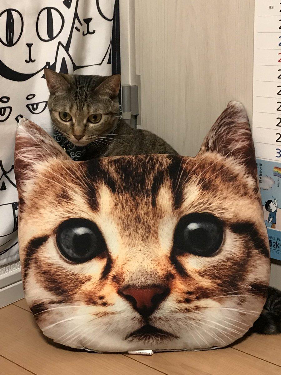 test ツイッターメディア - #猫 #ダイソー #100均   うちの猫とダイソーのクッション。 猫もナニ?て感じ?邪魔ね(^^; https://t.co/4eo1Tfou51