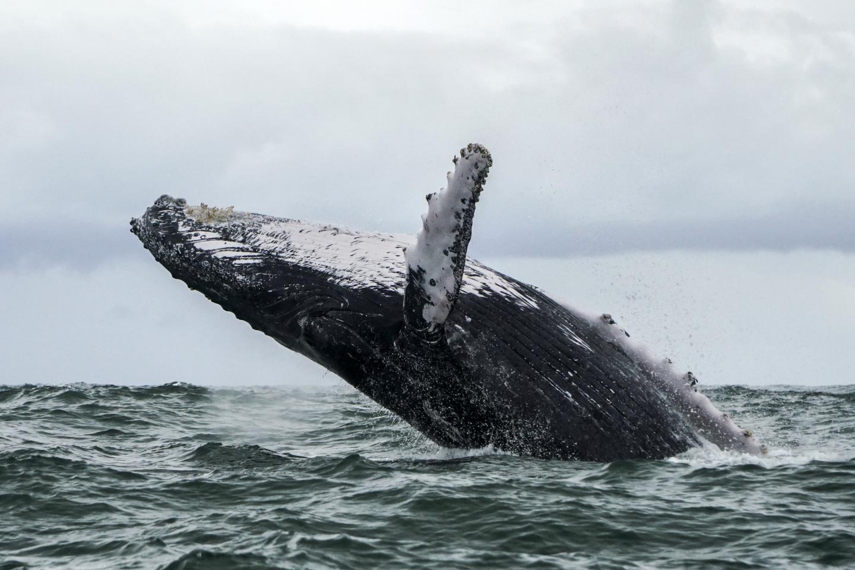 Watch: a humpback whale capsizes a boat in New Jersey https://t.co/mn1FYSGYeC https://t.co/p3nKAZj7OZ