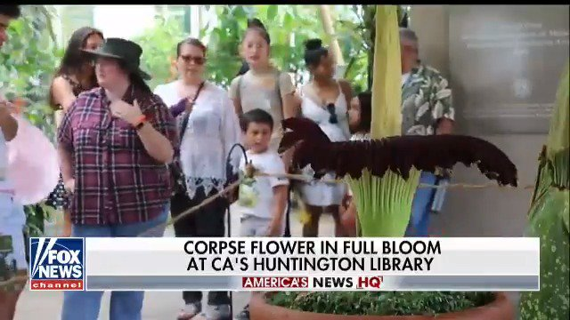 A smelly corpse flower is in full bloom at California's Huntington Library. https://t.co/QWvyNiCYsz