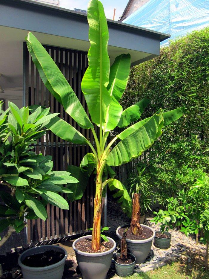 Read Http Naturebring Grow Banana Trees Containers Bananaplant Dwarfbanana Bananatree Musa Tropical Fruit Container Tree