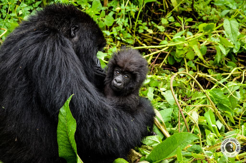 As a small token of appreciation to our donors and supporters, we've dropped the price of our infant gorilla symbolic adoption to just $20. Saving gorillas is an important mission, but the value of this work is even more far reaching. This week only! gorillafund.org/adopt