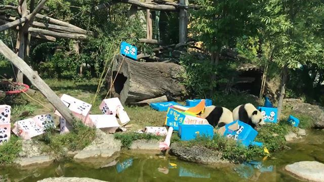 We adopted Fu Feng and Fu Ban earlier this year at @zoovienna, they turned 2 today and were unwrapping their presents on a live stream from the zoo this morning! Watch them unwrap their presents at facebook.com/zoovienna/vide… 🐼🐼 #bitpanda #zoovienna