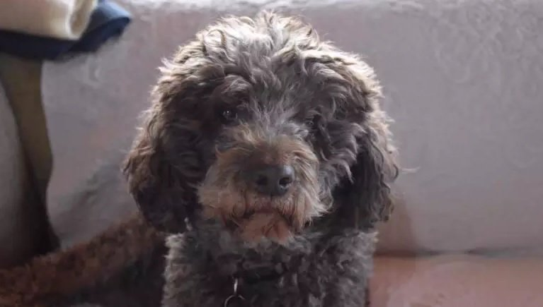 Have you seen Sienna? 🐶 Missing for a month since Mount Macedon house fire. https://t.co/UDBW3O61tw