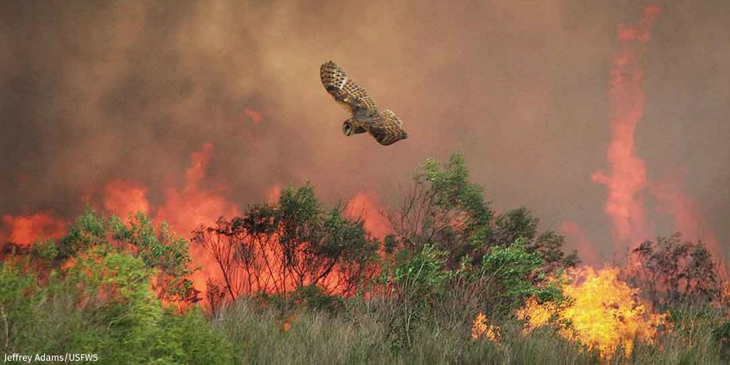 There are 103 large fires burning more than 1.5 million acres across 14 states, according to @NIFCfire. In 2018 to date, more than 5.3 million acres have burned. Learn more about how these megafires are affecting wildlife out west: bit.ly/2MwOtoS