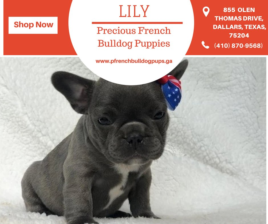 Precious French Bulldog Puppies (@french_puppies) | Twitter