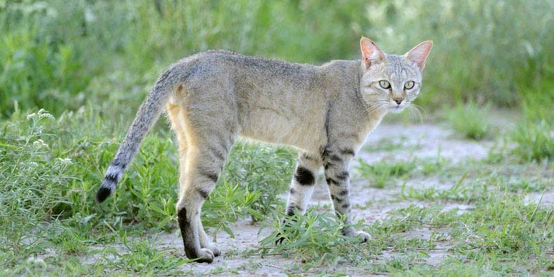 The ancestor of all domestic cats is the African wildcat. #InternationalCatDay eb.com/list/6-domesti…